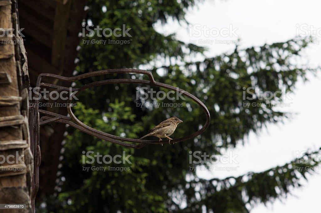 Sparrow on the basketball hoop stock photo