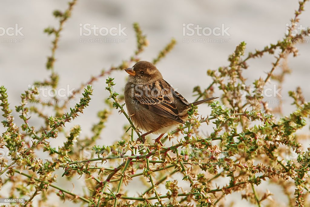 Sparrow on the Shrubbery stock photo