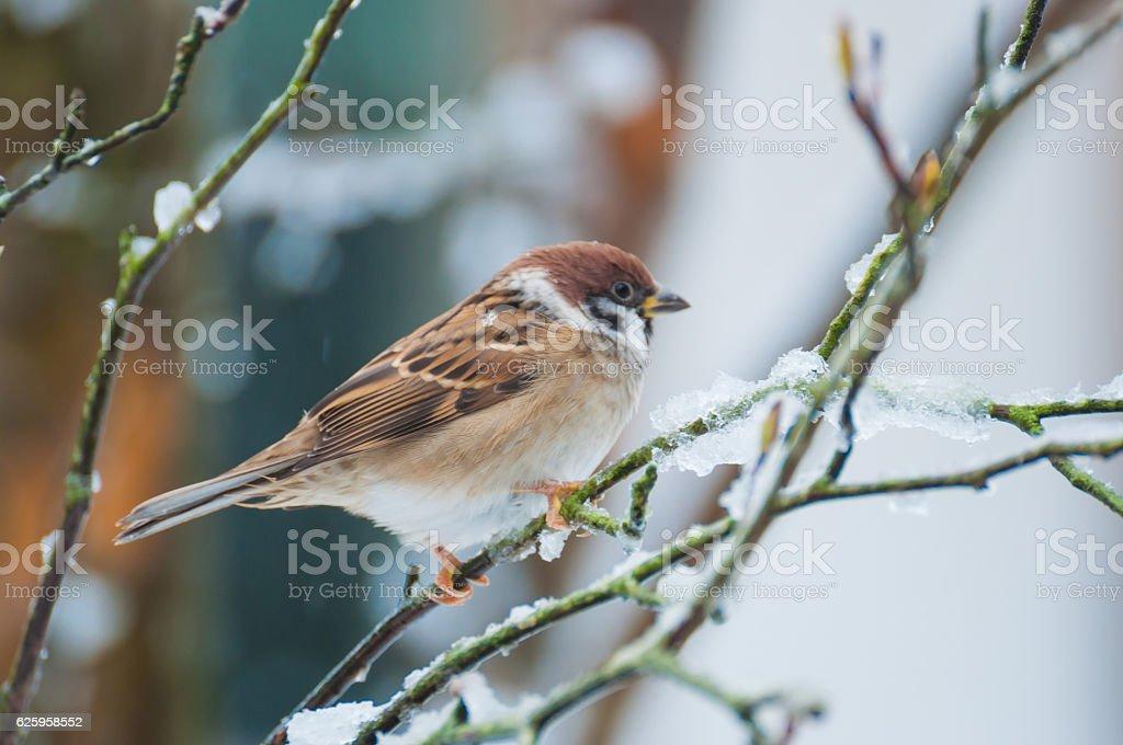 Sparrow on the snow stock photo