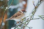 Sparrow on the snow