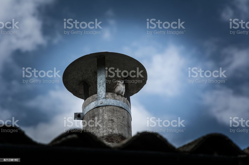 Sparrow on the ventilation pipe stock photo