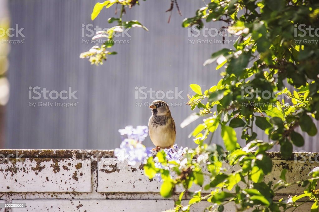 Sparrow on the wall among green leaves stock photo