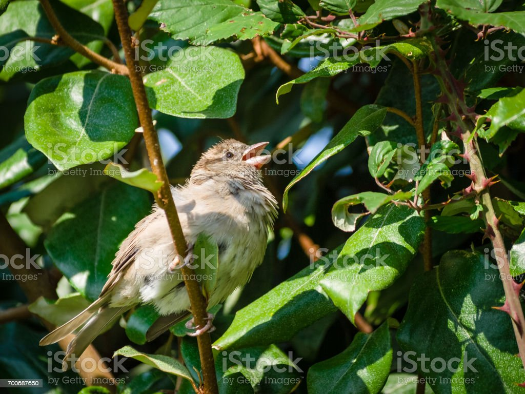 A sparrow perched in a hedge stock photo