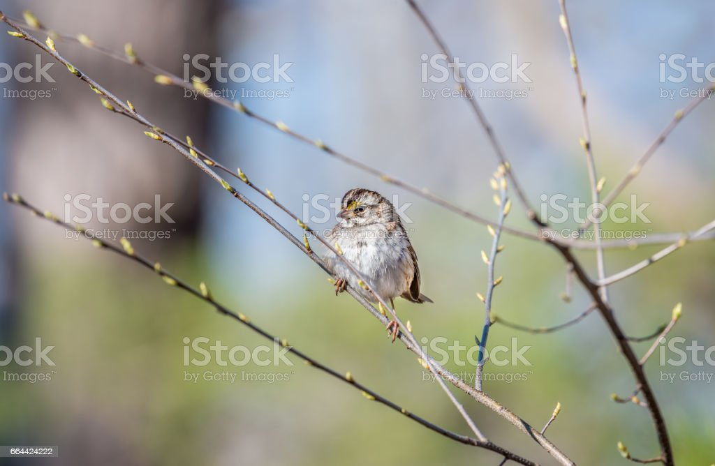 Sparrow perched in a tree in Spring with budding branches stock photo