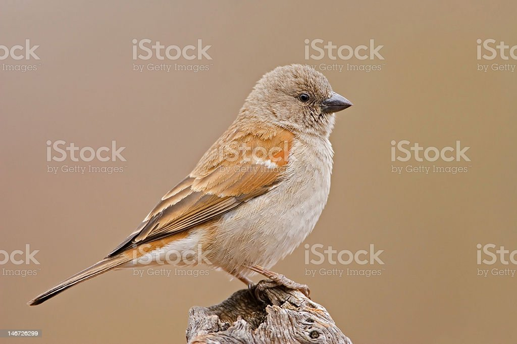 Sparrow royalty-free stock photo