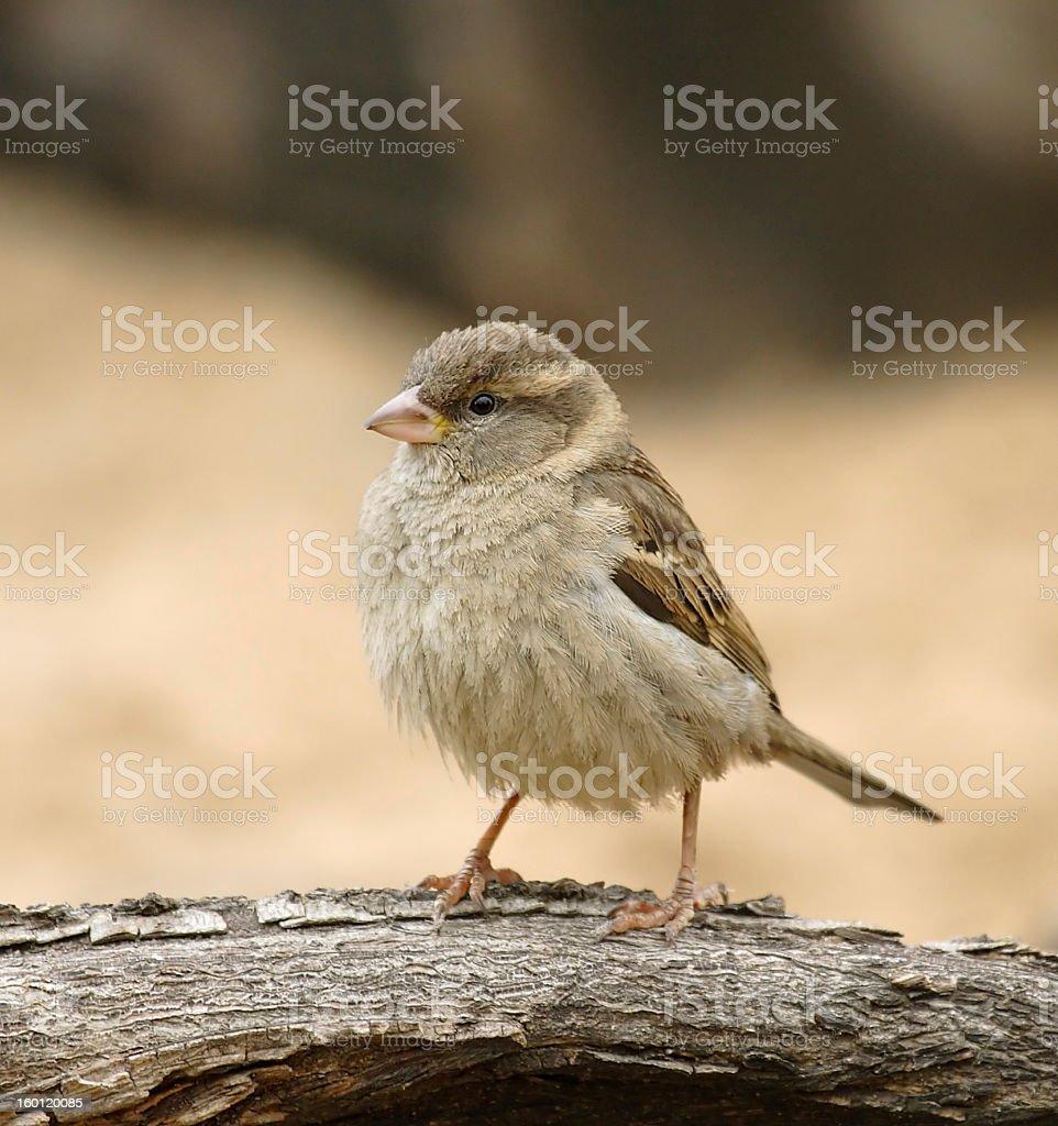 Sparrow. royalty-free stock photo