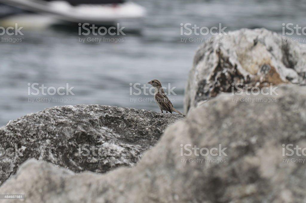 Sparrow settled on stones stock photo