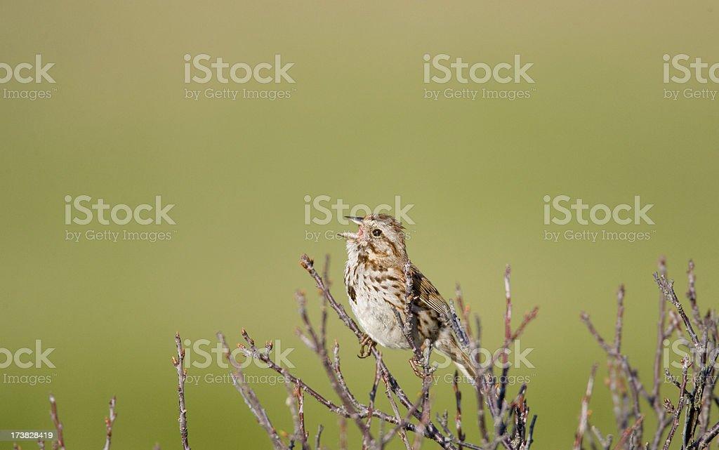 Sparrow Singing stock photo