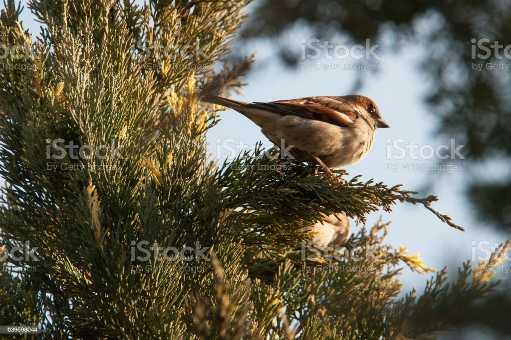 sparrow sits on a juniper stock photo