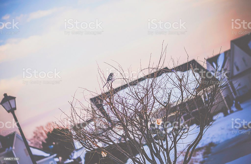 Sparrow sitting in bare tree with bread hanging in winter stock photo