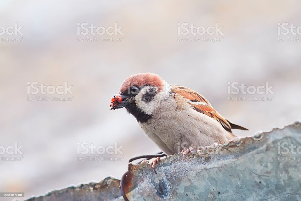 Sparrow sitting on a roof with an insect stock photo