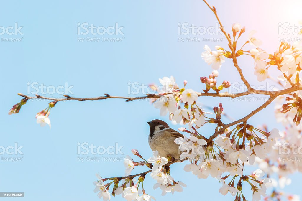 sparrow sitting on beautiful cherry blossom branch. stock photo