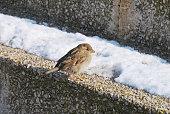 Sparrow sitting on snowy step