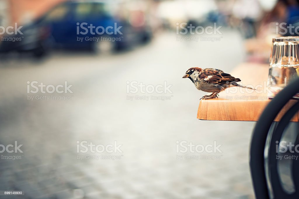 Sparrow sitting on table in Rome street restaurant stock photo