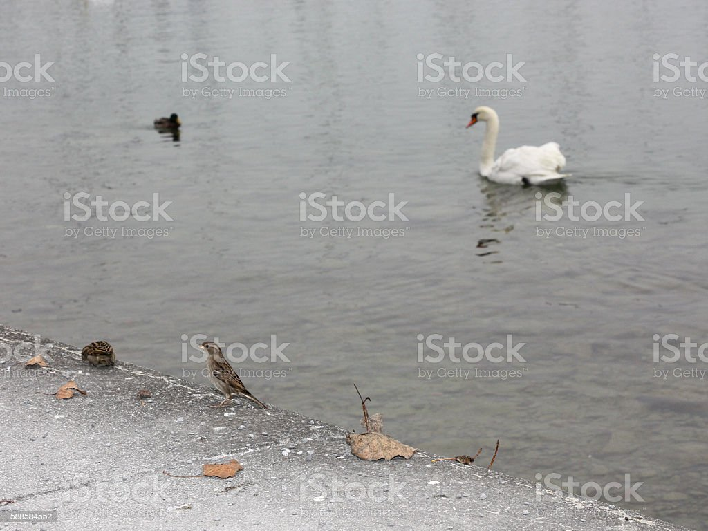 sparrow sitting on the ground, and a swan - floats stock photo