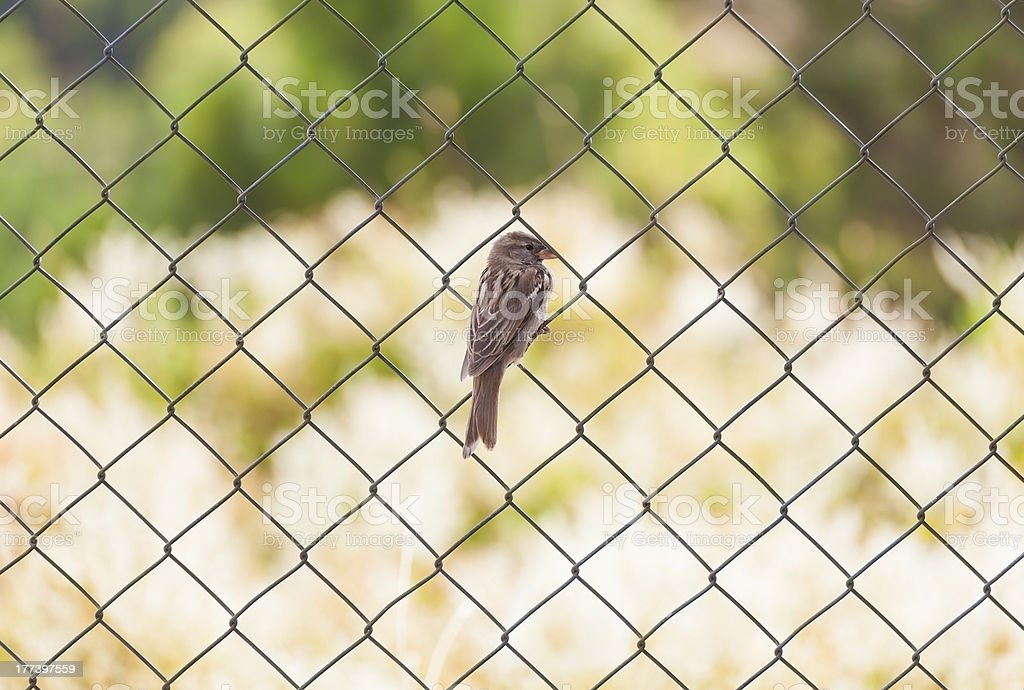 sparrow standing on chainlink fence stock photo