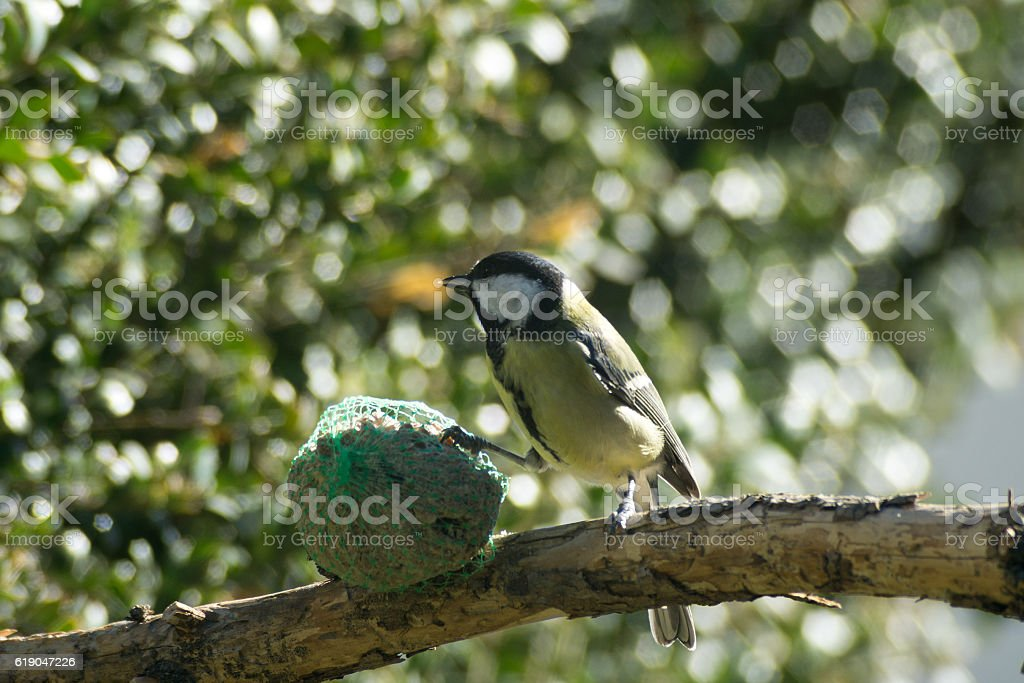 sparrow to the manger, great tit stock photo