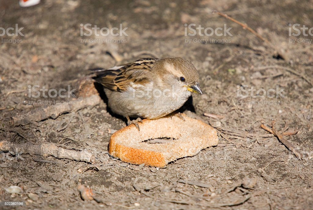 Sparrow with bread stock photo