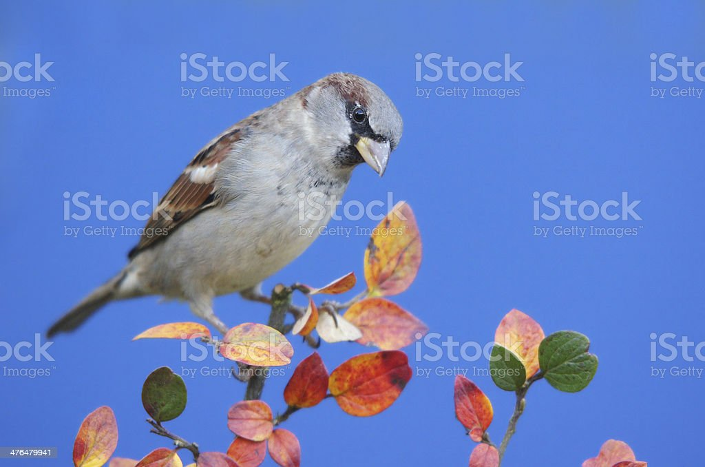 Sparrow with fall coloring leaves royalty-free stock photo