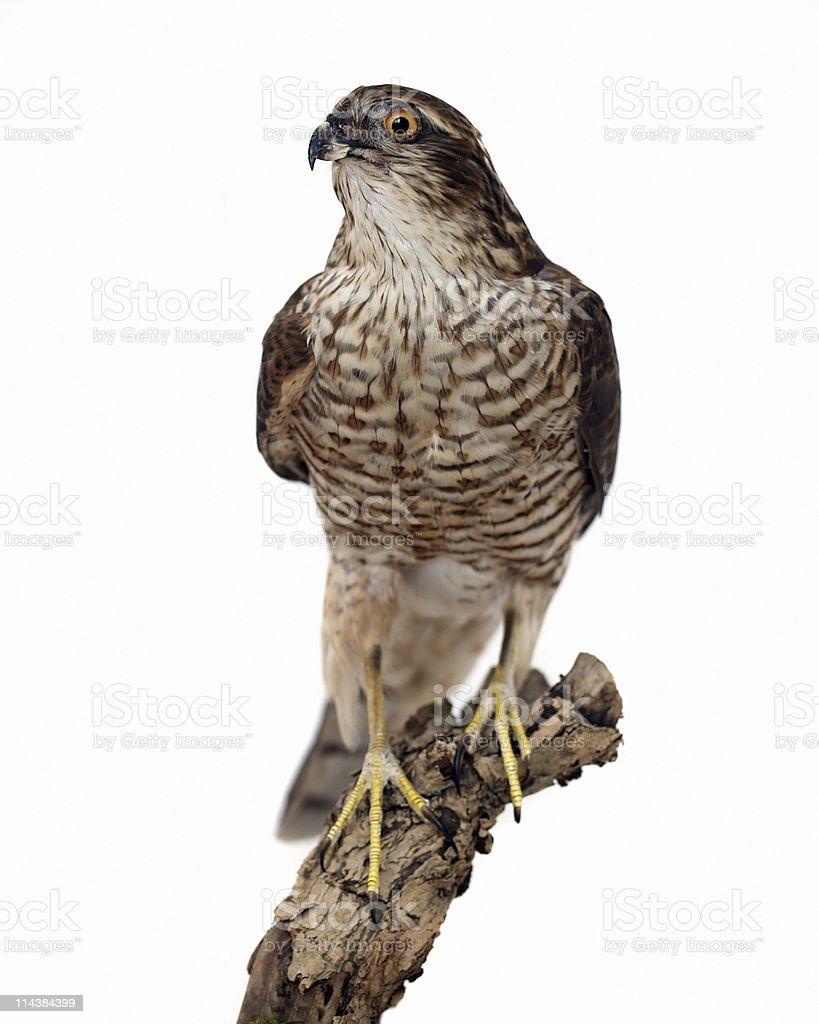 Sparrowhawk (Accipiter nisus) stock photo