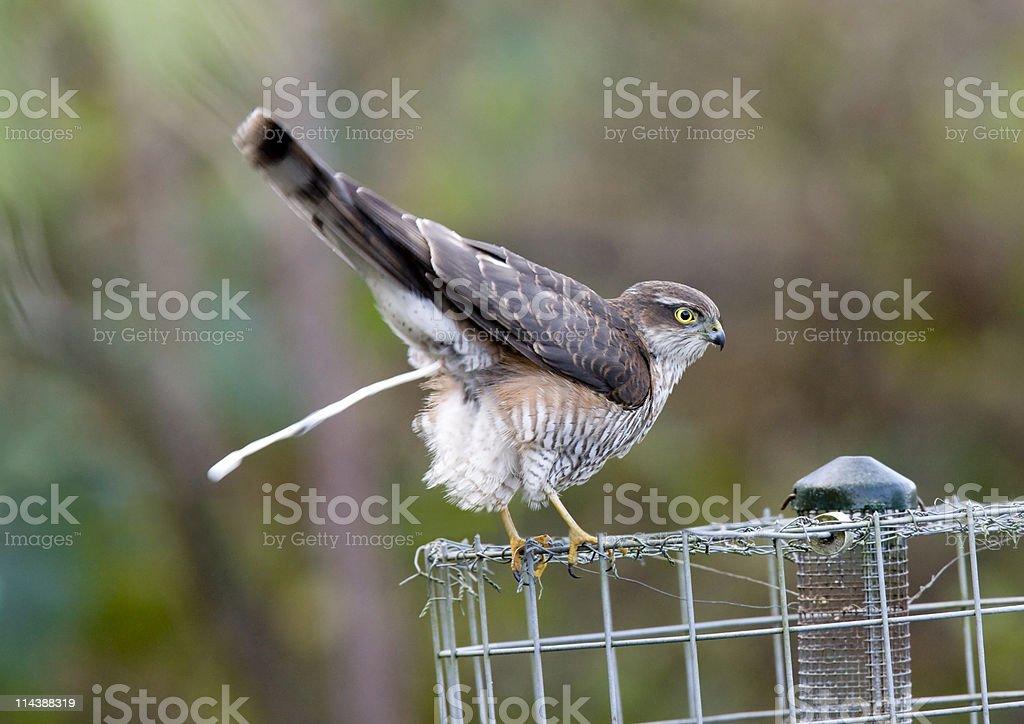 Sparrowhawk (Accipiter nisus) royalty-free stock photo