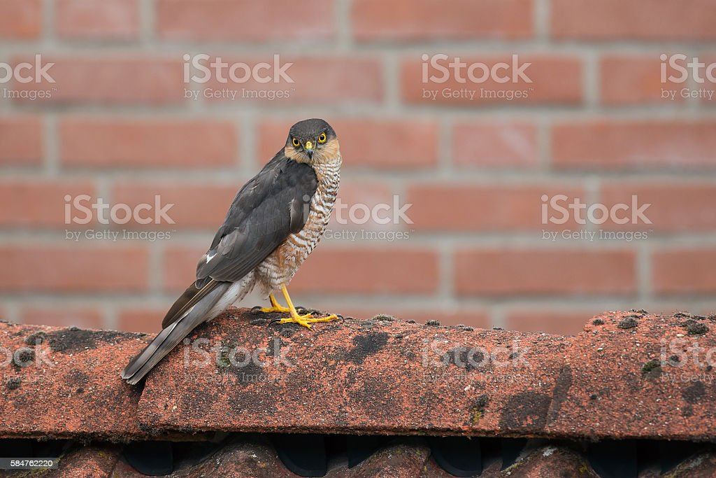SparrowHawk (Accipiter nisus) sitting on a shed. stock photo