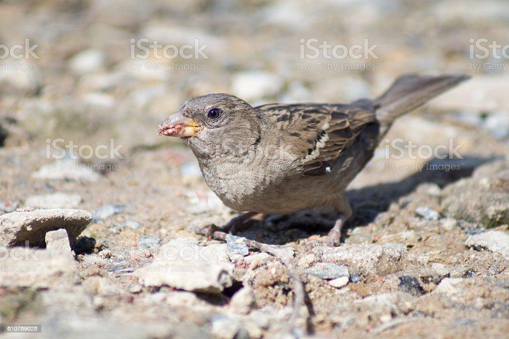 sparrow-lark bird stock photo