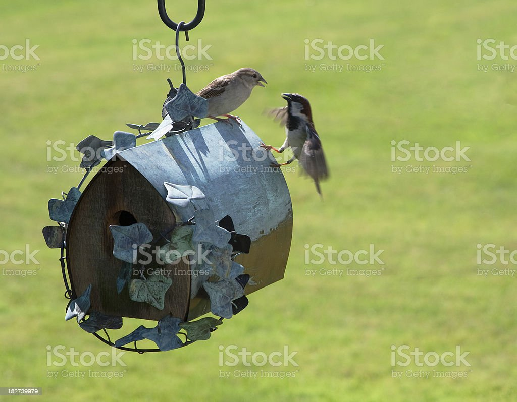 Sparrows at a Birdhouse royalty-free stock photo