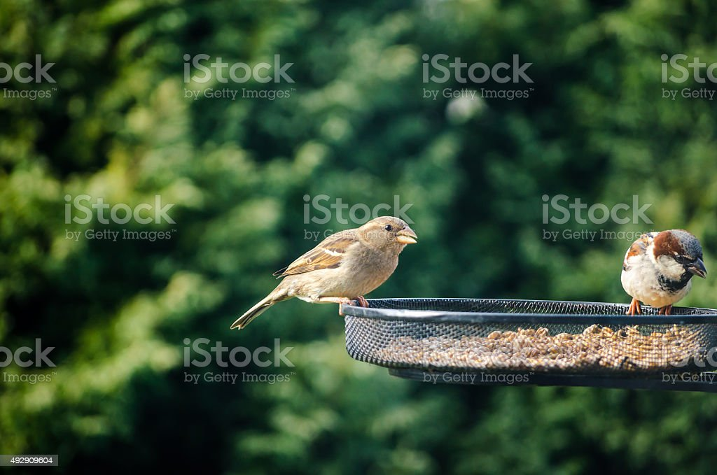 Sparrows Bird Feeding Seed Nature Garden stock photo