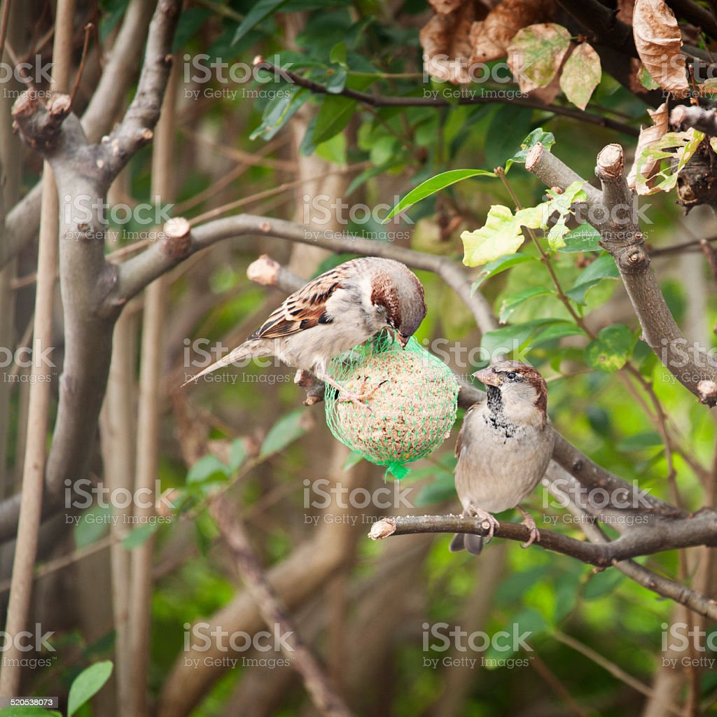 Sparrows eating a fat ball stock photo