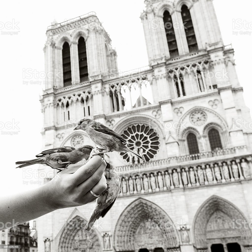 Sparrows eating out of a woman's hand, Notre Dame (Paris) royalty-free stock photo