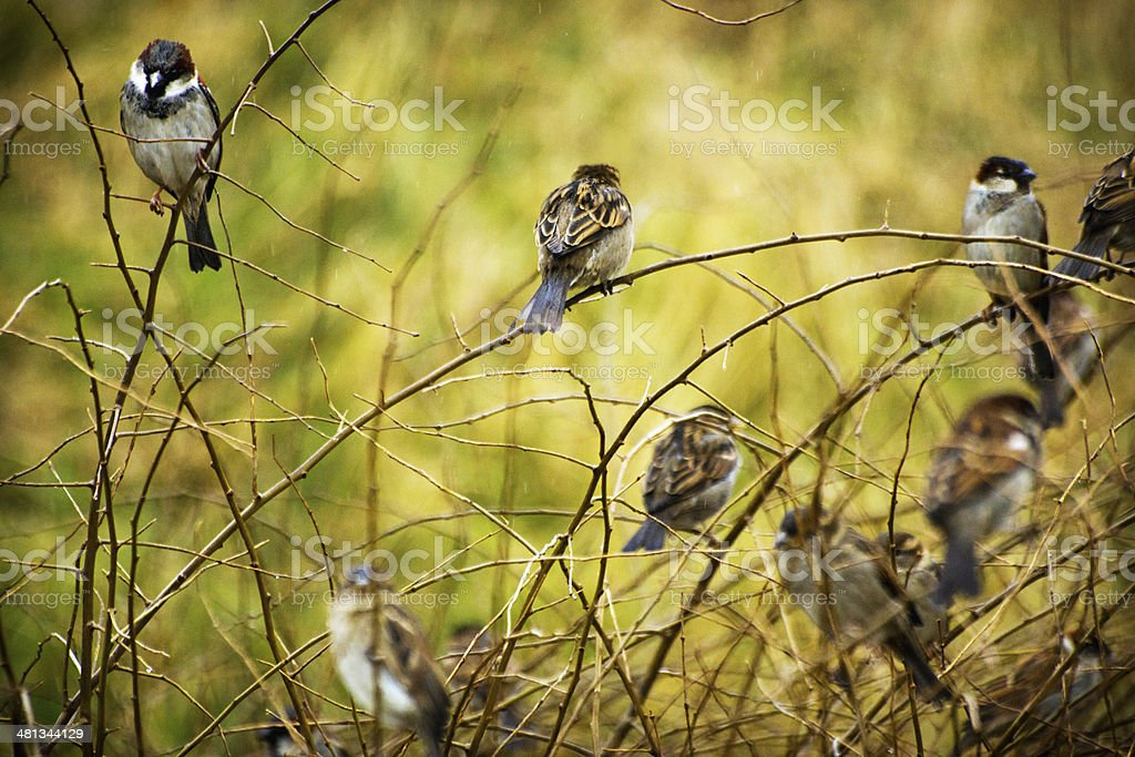 Sparrows in a leafless bush royalty-free stock photo