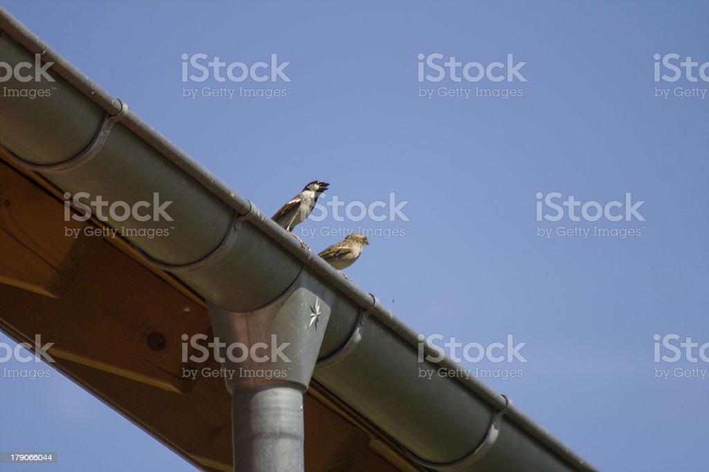 sparrows on a roof royalty-free stock photo