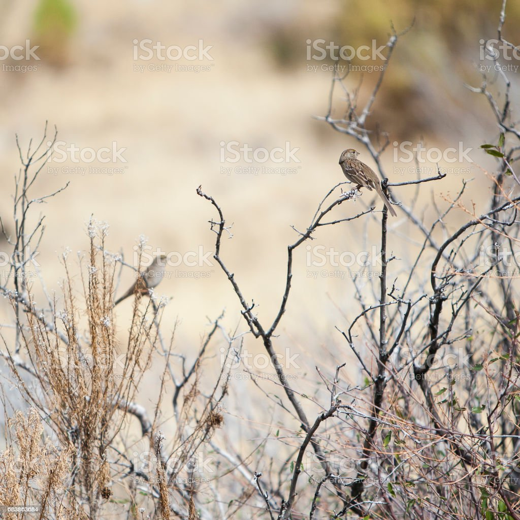 Sparrows on the bush's branches in the Yosemite stock photo
