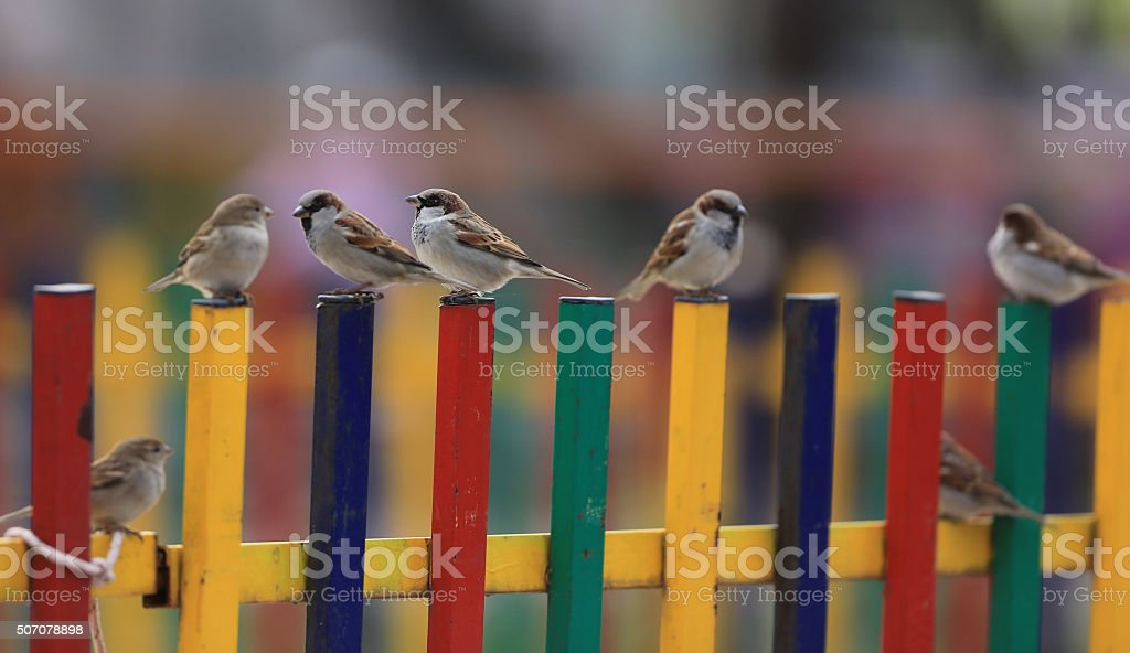 Sparrows on the fence stock photo