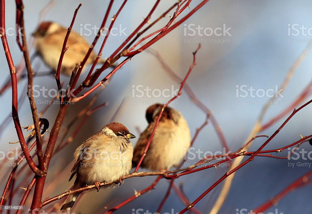Sparrows on winter branches stock photo