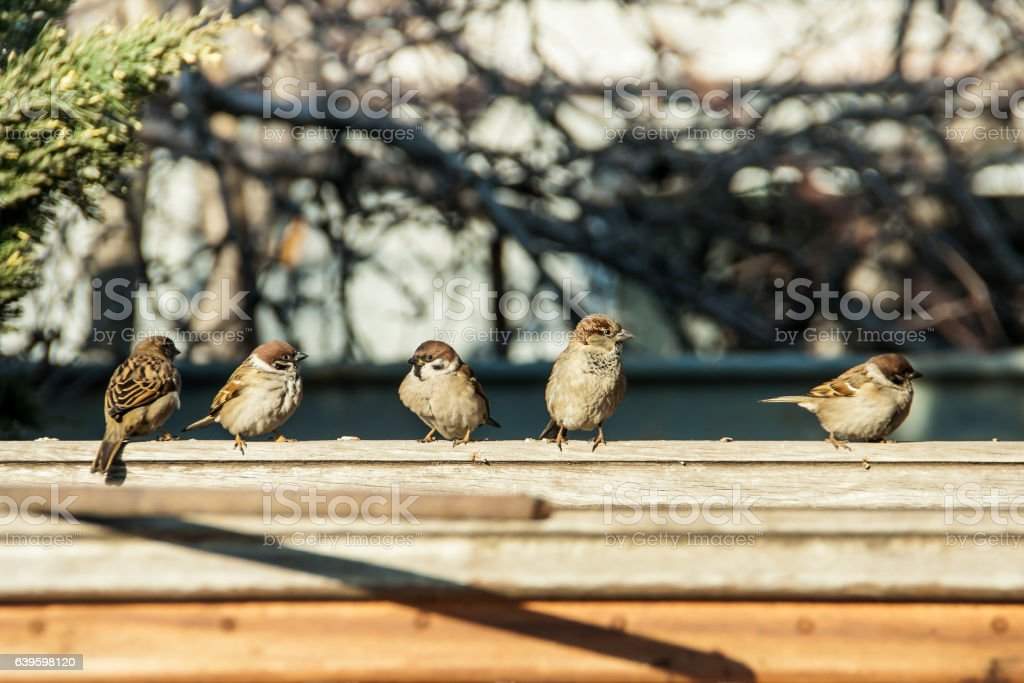 sparrows sit on the fence stock photo