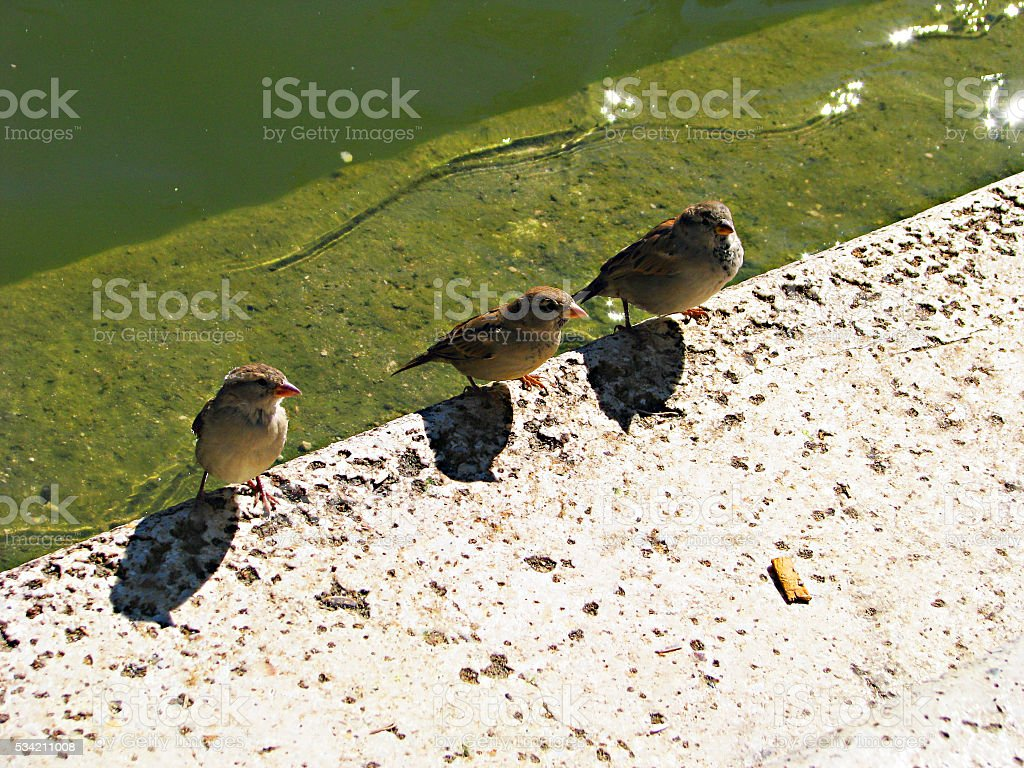 Sparrows talk stock photo