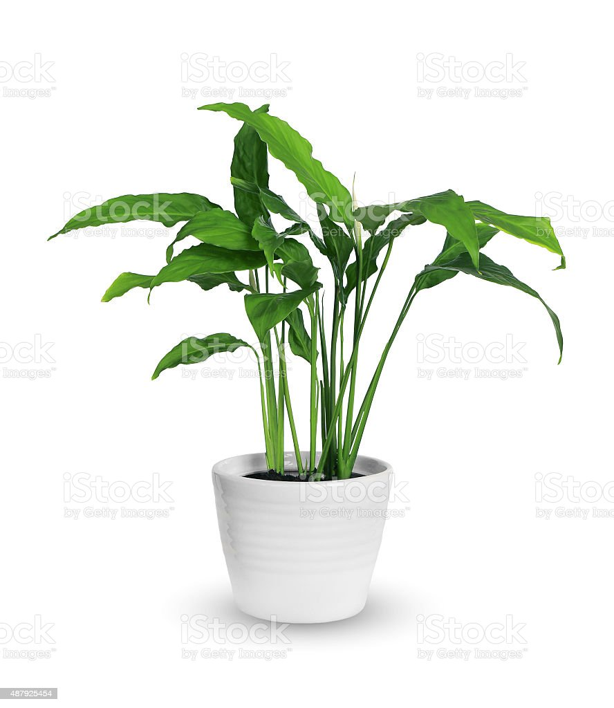 spathiphyllum stock photo