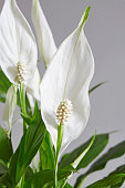 Spathiphyllum,Peace lily