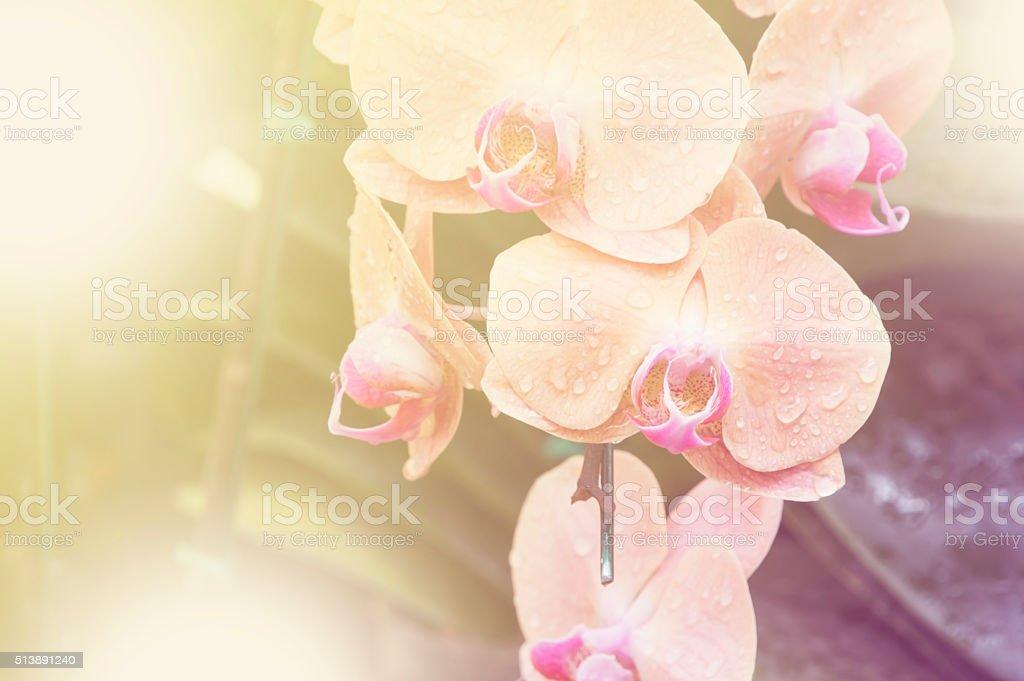 Spathoglottis Plicata pink orchids in garden stock photo