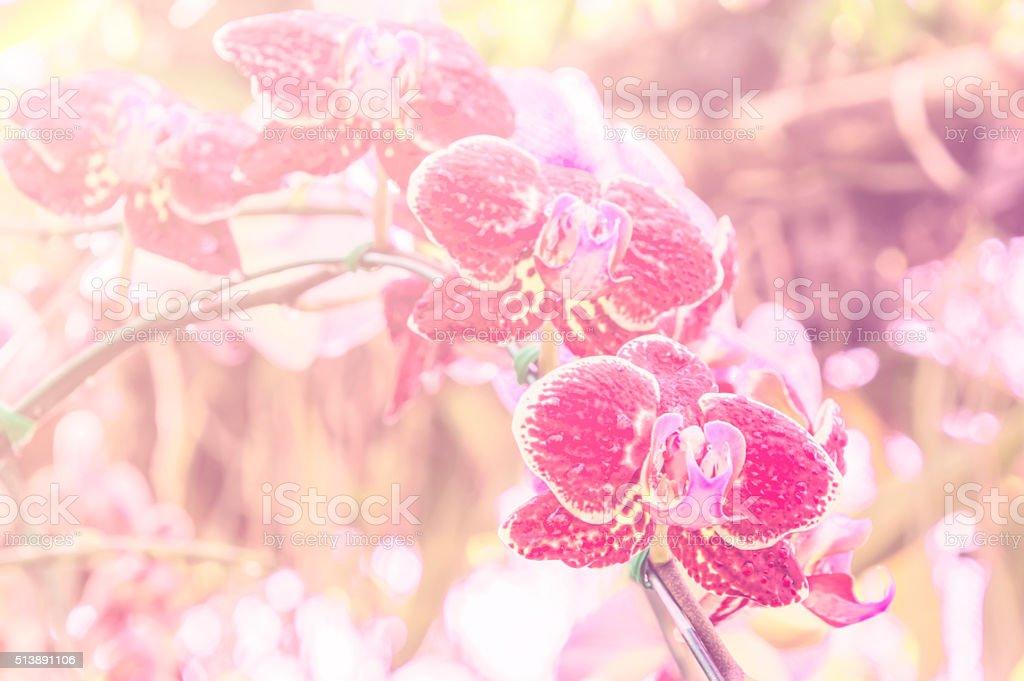 Spathoglottis Plicata red orchids in garden stock photo