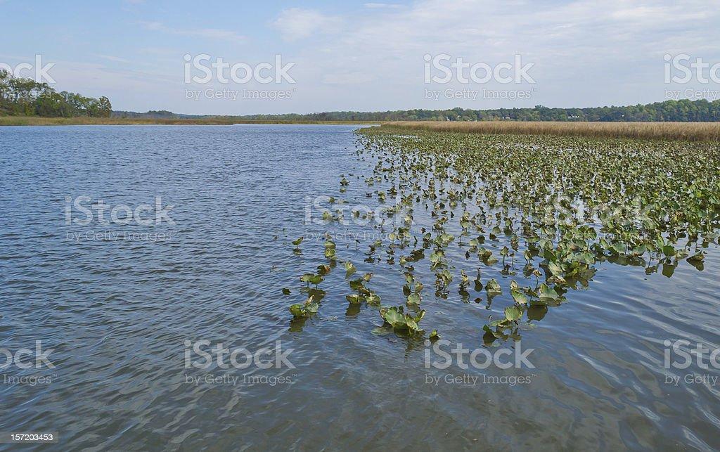 Spatterdock and Marsh Grass stock photo