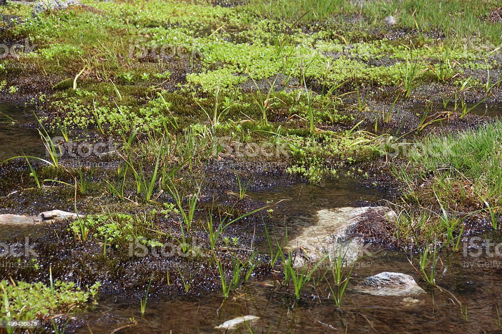 Spawn, Tadpoles, Polliwogs in a Pond stock photo