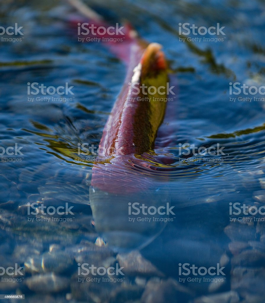 Spawning red salmon stock photo