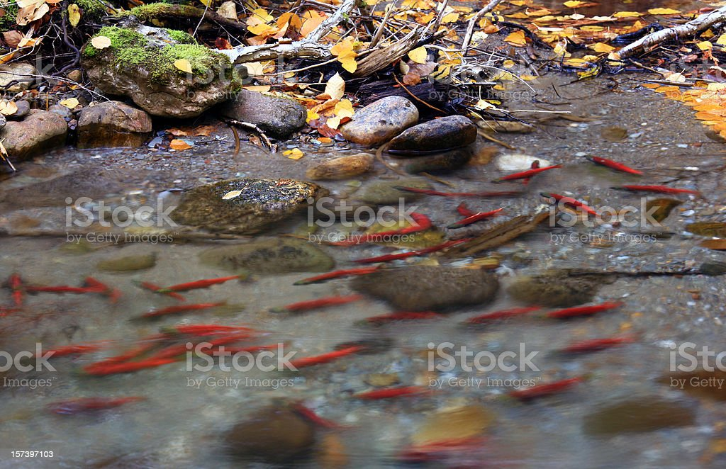 Spawning Salmon in British Columbia Creek stock photo