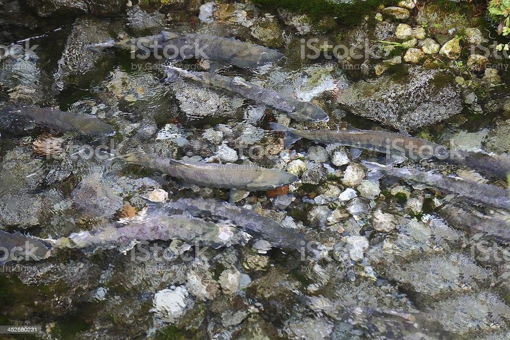 Spawning Salmon in Creek stock photo
