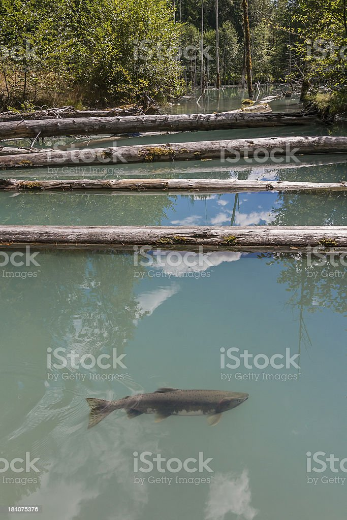 Spawning Salmon in Pond stock photo