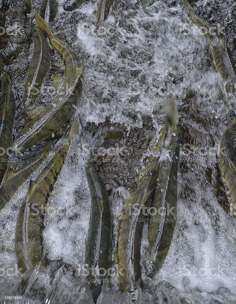 Spawning Salmon royalty-free stock photo
