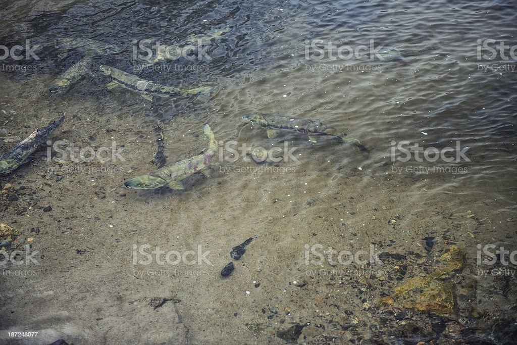 Spawning Salmon royalty-free stock photo